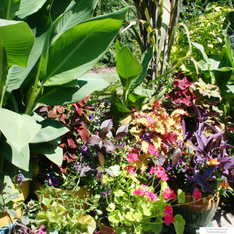 A variety of tropical plants in container culture.