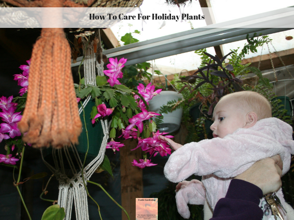 My 11 month old granddaughter looking at a blooming Christmas cactus in my greenhouse.