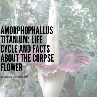 The Amorphophallus titanium in bloom at Olbrich Botanical Gardens in Madison, Wisconsin.