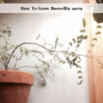 How To Grow Boswellia sacra