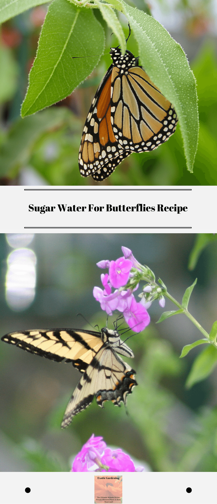 Sugar Water For Butterflies Recipe