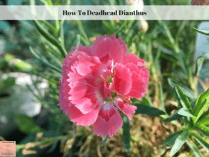 How To Deadhead Dianthus