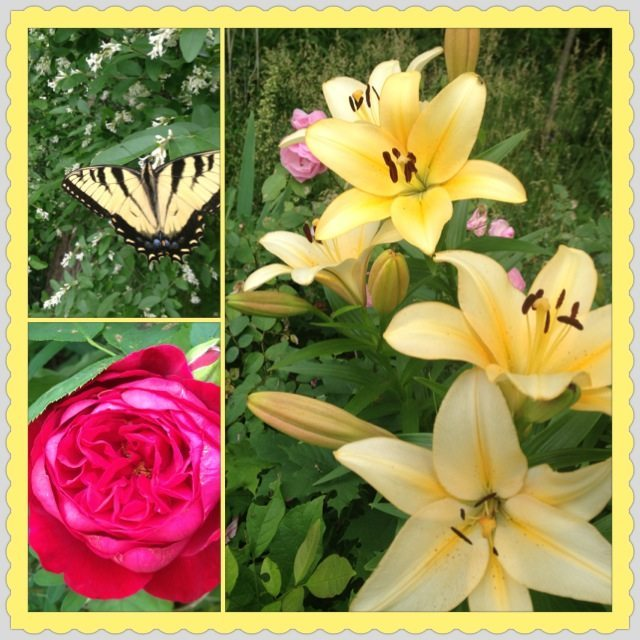 A butterfly, a rose and lilies in bloom in my garden.