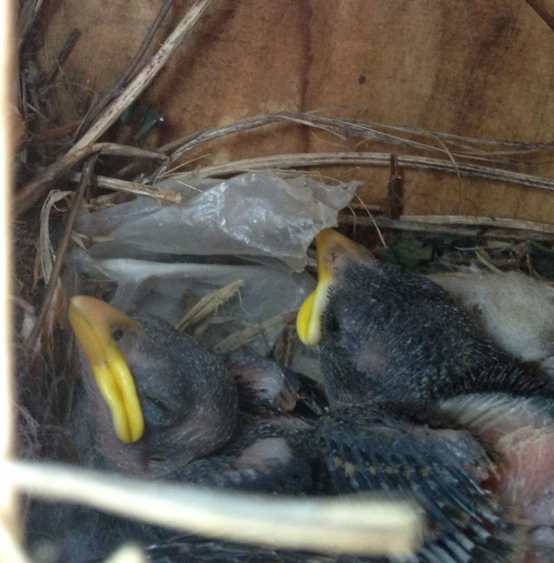 Baby birds in a nest in my garden.