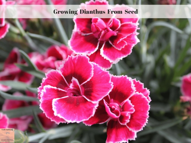 Growing Dianthus From Seed Exotic Gardening