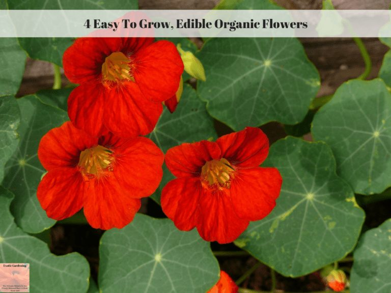 4 Easy To Grow, Edible Organic Flowers