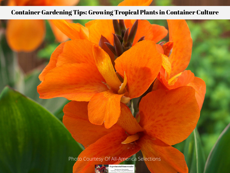 When growing tropical plants in container culture include vibrant blooming plants such as Canna.