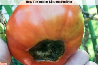 How To Combat Blossom End Rot