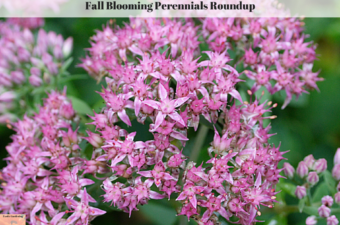 Fall Blooming Perennials Roundup