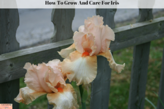 How To Grow And Care For Iris