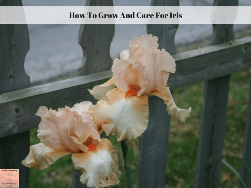 How to grow and care for iris exotic gardening izmirmasajfo