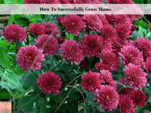 How To Successfully Grow Mums