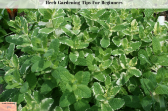Herb Gardening Tips For Beginners