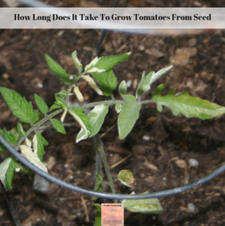 A variegated tomato seedling planted in the garden.