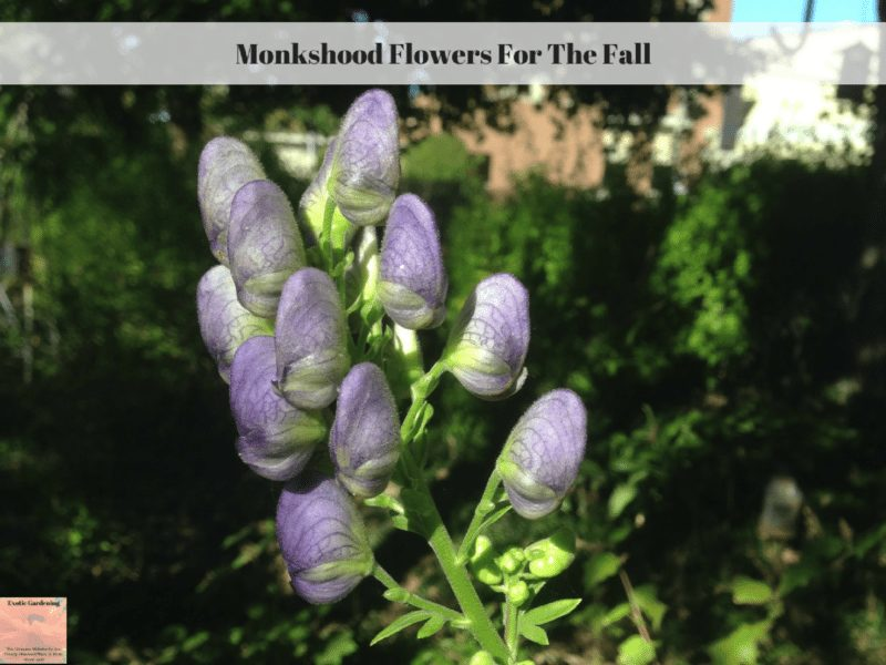 Monkshood Flowers For The Fall