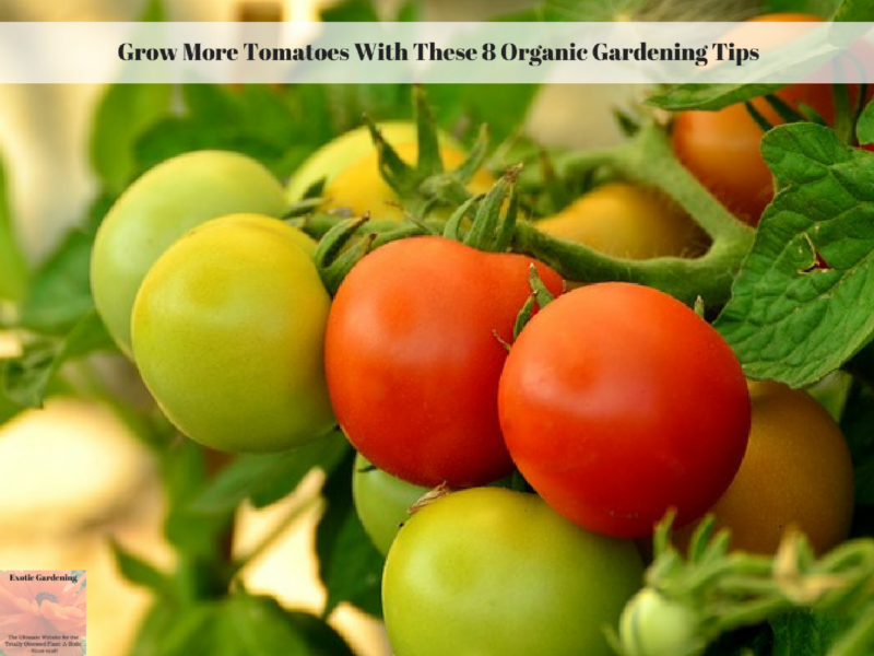 Grow More Tomatoes With These 8 Organic Gardening Tips