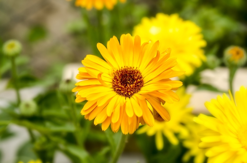 Calendula in bloom.