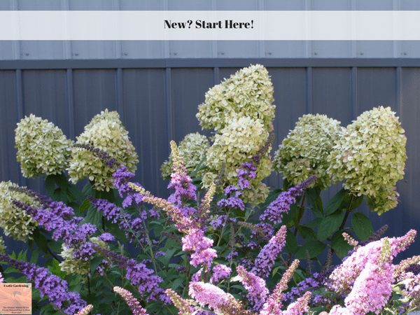 Hydrangea and butterfly bush in bloom.
