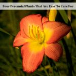 Four Perennial Plants That Are Easy To Care For