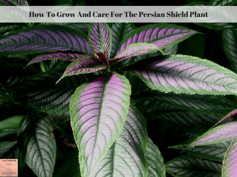 How To Grow And Care For The Persian Shield Plant