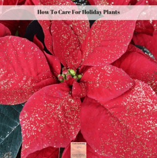 A red poinsettia plant with gold glitter on it.