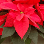 A red poinsettia in bloom.