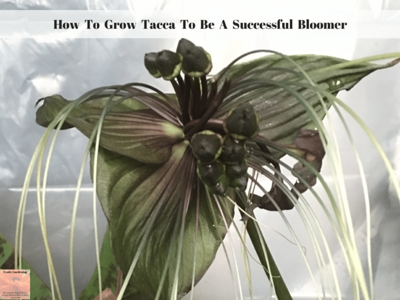 How To Grow Tacca To Be A Successful Bloomer