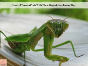 Control Tomato Pests With These Organic Gardening Tips