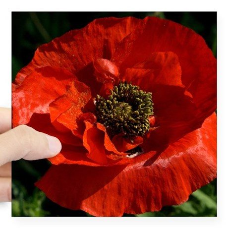 Photo of a red poppy.
