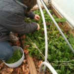 Sheri Ann Richerson harvesting lettuce from inside her high tunnel house in December.